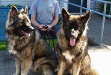 Shiloh Juhász kutya +Groenendael