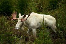 Just Moose!
