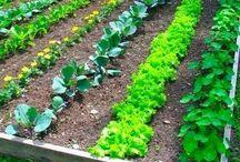 veggie gardening