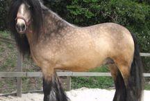 Horse - Cob / За исключением уэльского коба, который является отдельной породой, кобом считается любая коренастая лошадь ростом 140-150 см с сильным телосложением. Коб должен быть компактным и невозмутимым, с удобным, не слишком быстрым ходом; он идеально подходит приверженцам спокойной езды. Коб — это прекрасная универсальная лошадь, хорошо зарекомендовавшая себя как под седлом, так и в упряжке. Им часто очень коротко подрезают гриву, чтобы подчеркнуть мускулистую шею.