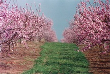 Beauty of the Peach Tree - Dickey Farms / Beautiful pictures of our orchards