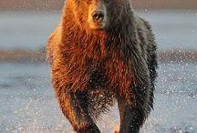 Brunbjørnen