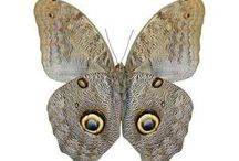 Real Butterflies / Butterfly setting service, pinned butteflies, mounted and unmounted real dried butterflies. Contact the team today at www.NaturalHistoryDirect.com