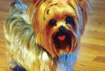 Yorkie/Morkie/German Shepherd / by Denise Alsup