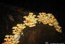Noční houbaření / Zkoušeli jste už někdy vyrazit na houby v noci? Budete při houbaření úspěšnější než ve dne. Mrkněte na náš článek: http://www.nahoubach.cz/clanky/fenomen-nocni-houbareni/