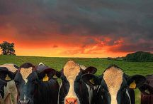 cows I love