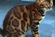 Бенгальские кошки.