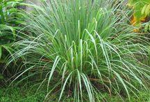 Natural Lemongrass / Real lemongrass products and gardening