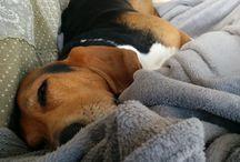 Basset hound Wobbe / Wobbe is onze Basset Hound. Liefde voor deze hond!