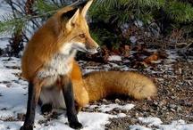 Foxitos