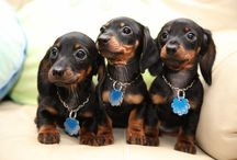 Doxie's / Pets / by Jacob Forte