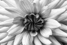 Flower Dahlia