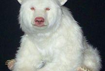 albinos animalis