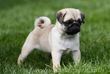pug pug pug / Slade Czech - Breeding kennel Pug