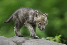 Wolf stalker / I love lov love love love love love love love love love wolfs.they are my most favourite animal in the world