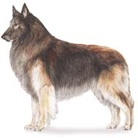 Belgian Tervurens / Information about our favorite dog breed, Belgian Tervurens - who they are, sports they participate in, breeders