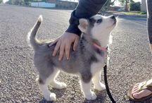 Siberian husky ❤️