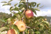 Scuole: la raccolta delle Mele / Alla scoperta delle mele della Val di Non