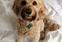 Keeley / Our little princess, a rescue, our friends found her living on the streets.  She is a cockapoo, never sheds, learns very quickly and if very loving.