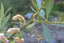 Desert Medicinal Plants