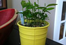 Citron graines a planter