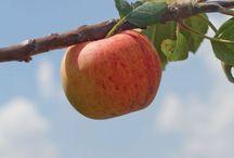 HEIRLOOM | Apples / 0