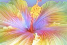 Hibiscus gallery / Hibiscus
