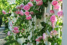 Rosor Trädgård