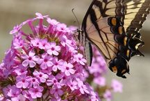 Bees, Butterflies, and pollinators for the garden