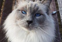 Voitto the ragdoll cat