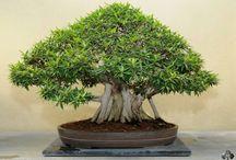 Ficus bonsai care