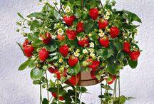 Κρεμαστή φράουλα