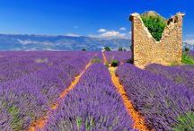 Lavendel / Lavender / The beauty of lavender.