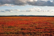 Wild Blueberry Barrens / Visit where the Wild Blueberries grow