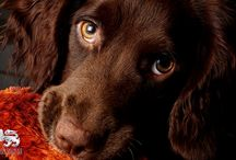 Bria / Its all about Bria the Sprocker!
