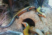 Collection / Reptiles & Amphibians / Reptiles, Amphibians / by Steve Chapman