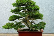 Bonsai tree / Bonsai tree