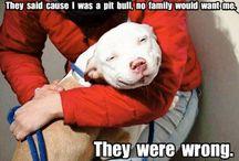 America Pit Bull Terrier