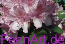 Rhododendren / Blumiger Gruß ... Ich sende Euch heute einen blumigen Gruß! Möge der Lenz bald übers Land ziehen! Rhododendron, Blumen, Flowers  | www.FeenArt.de | Claudia Böttcher