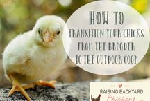 Backyard Chicken Information