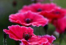 FLOWERS - CORN  POPPIES