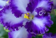 African Violets / Violets / by Malena Rivas