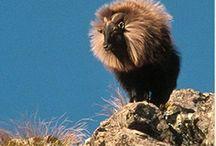 NZ Himalayan Thar