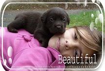 bb animaux / labrador chocolat