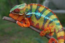 Lizards, Reptiles, Chameleons
