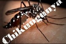 Obat Chikungunya Herbal