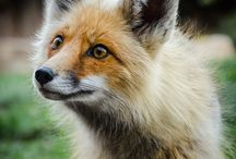 Foxes / Photos