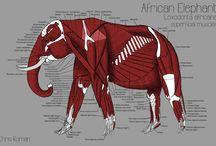 Anatomy Elephants