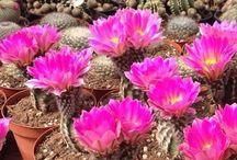 Cactus / Dei meravigliosi Cactus che l'Azienda Giromagi Cactus produce.
