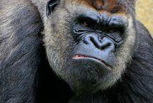 Gorilles / animaux